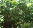 Feature_Guayusa_tree