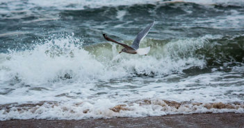Gull and Waves