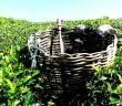 tea-plantation Feature