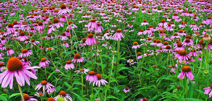 Behind the Brew: Echinacea