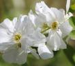 FEATURE wild-jasmine