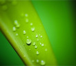 Rainfall Affects Tea