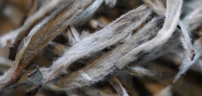 White Haired Silver Needle Tea